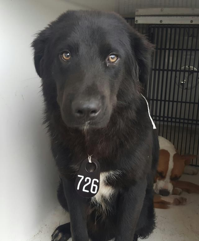 05/16/16--HOUSTON- -EXTREMELY HIGH KILL FACILITY - This DOG - ID#A459104 I am a male, black and white Flat-Coated Retriever. The shelter staff think I am about 1 year old. I have been at the shelter since May 16, 2016. This information was refreshed 47 minutes ago and may not represent all of the animals at the Harris County Public Health and Environmental Services.