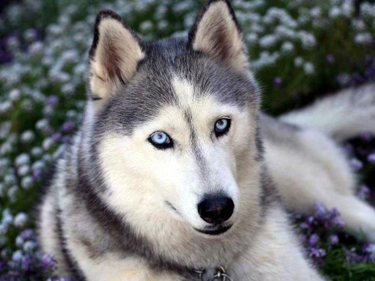 husky pictures | husky siberiano é um cão de porte médio, de extrema agilidade e ...