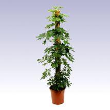 Sugárarália, Schefflera arboricola 90 cm mohakarós