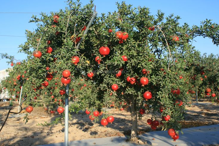 Pomegranate Tree, Israel-one of the seven species for Tu B'Shevat. Use to show the students what it actually looks like; helps those visual learners in the crowd.