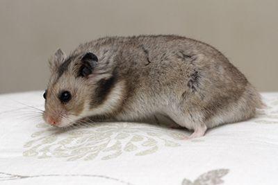 Donkergrijs Syrian Hamster