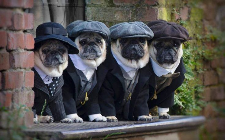 4 pugs at different styles.!! #funny #funnyanimals #pug