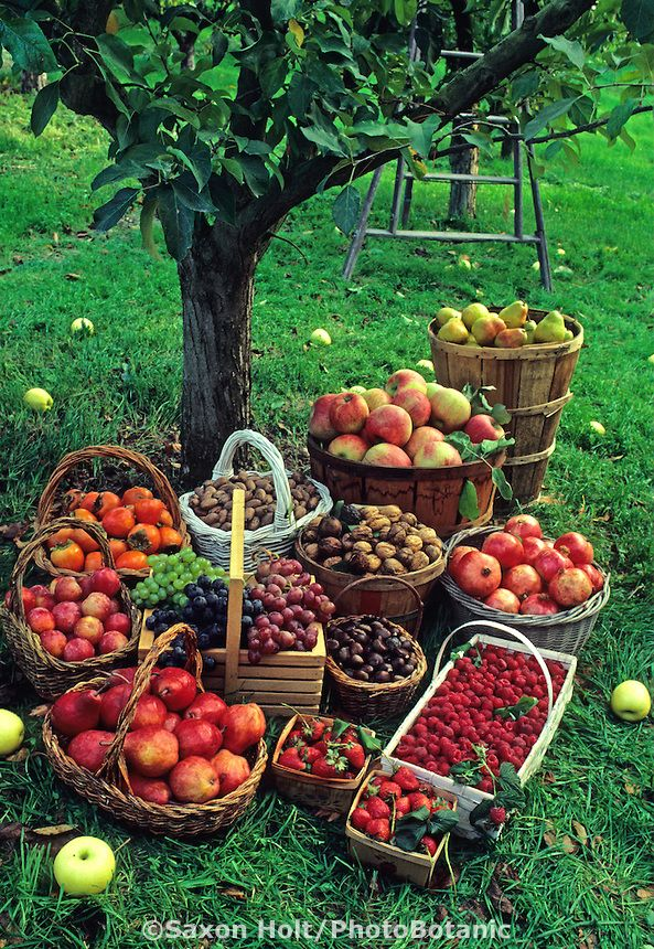 Fall harvest baskets of fruit: apples, grapes, nuts and berries in apple orchard | PhotoBotanic