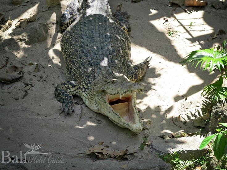 Crocodile at Bali Zoo - Singapadu, Gianyak, Bali || www.BaliHotelGuide.com