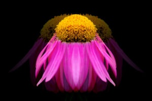 "Echinacea Giclée on Canvas. Photo and effects by Carl Brownell/Joe-Lynn Design. Printed and stretched by Carl Brownell/Joe-Lynn Design. A great buy at $80.00 Firm Print is a 20"" x 14"" Giclée on Epson Exhibition Canvas Matte. Ready to hang. Our prints are sold by square inch so we have a print for everyone's budget. Call 204-586-4738 Find more images at www.joe-lynn.com/ We do custom matting and framing as well as Giclée fine art and canvas prints."