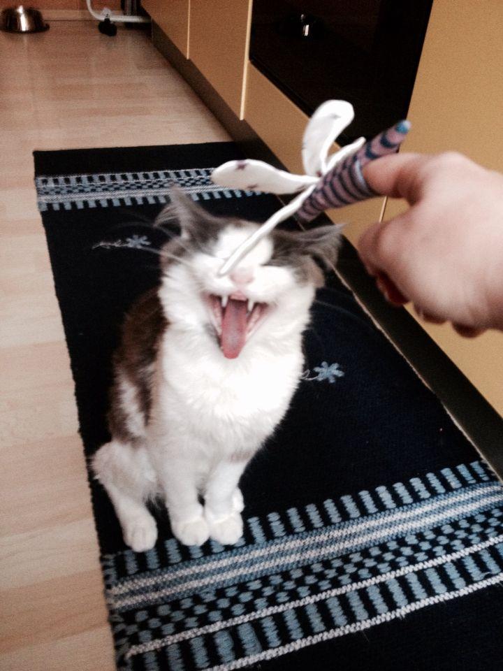 Ho troppo sonno per giocare con te! #cat #angoracat