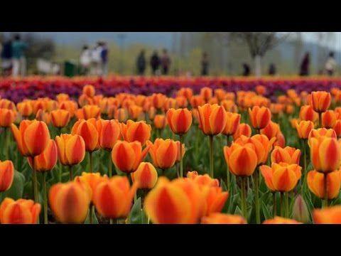 Asia's biggest tulip garden thrown open in Kashmir - YouTube