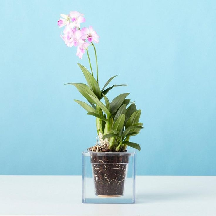Watch your plants root system develop through the clear plastic body of the Boskke Cube. Fill the cube with water and the terracotta divider between liquid and dirt will keep your plant moist for a month.