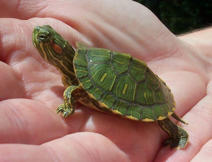 Come si Cura una Tartaruga d'Acqua | Notizie dal Web