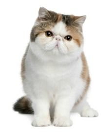 The Exotic cat.. a short-haired Persian
