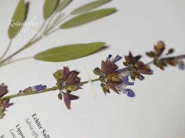 Kräuterfee: Herbarbeleg: Echter Salbei Salvia officinalis L.