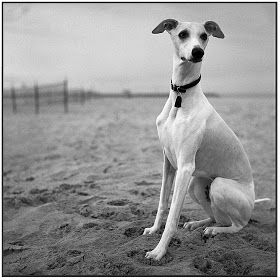 whippet photos whippets rescue
