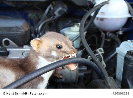 Der #Marder im #Auto. Er zerstört dort gern Kabel und Schläuche. Das kann zu teuren Motorschäden führen. Haben Sie einen Marder im Auto? Weitere Informationen finden Sie auch im Ratgeber auf http://marder-vertreiben.org