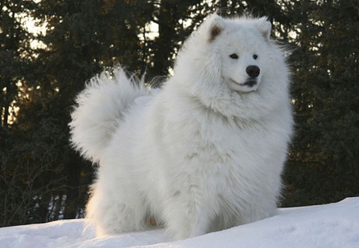 Animals With Majestic Hair----Samoyed Dog. Pretty fluffy hair that keeps them warm and helps them camouflage perfectly with a blanket of white snow.