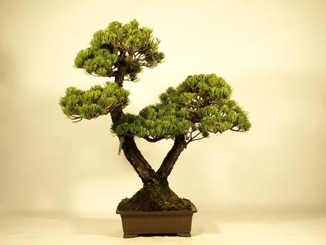五葉松盆栽 銀八つ 双幹