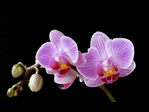 Как предотвратить опадение бутонов на орхидеях Фаленопсис _ - YouTube