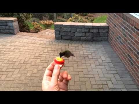 Handfeeding a Hummingbird