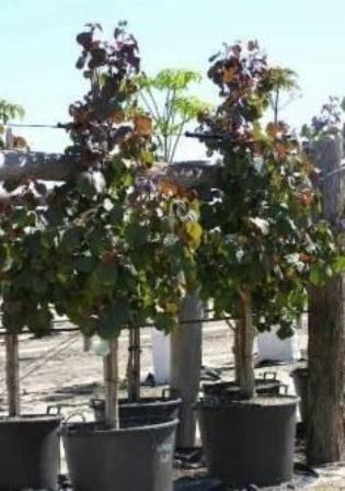 Cottonwood Hibiscus Tiliaceus Rubra Large Shrubs