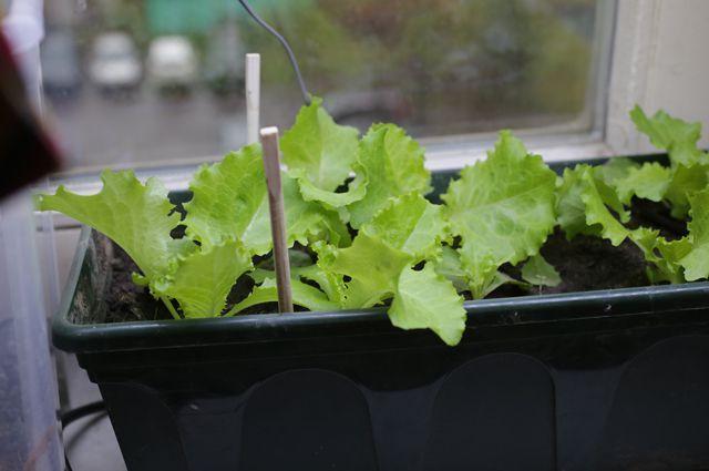Личный опыт: выращиваем салат на подоконнике зимой