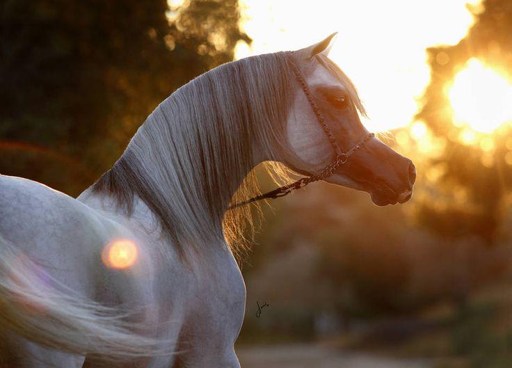 Baha : Arabian horses of Aria International - Arabian horses, stallions, mares, colts, fillies, for sale