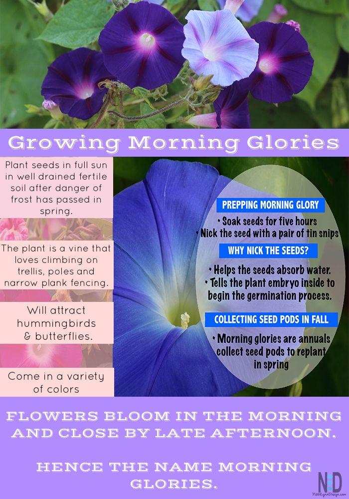 Morning Glories Are One Of My Favorite Climbing Vines Nikki Lynn Design Morning Glory Flowers Morning Glory Plant Morning Glory