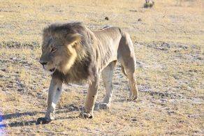 A lot of lion activity at Kings Pool recently - one wonders what the future holds for the injured older male. #Safari #Africa #Botswana #WildernessSafaris