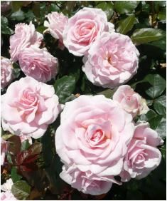 Rose Naming Opportunities Mary Ann Yule (Dicjukima)  For a birthday