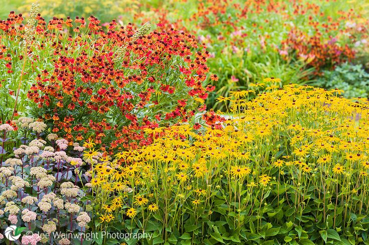 Heleniums, rudbekias and sedums provide vivid colour at Trentham Gardens, Staffordshire.