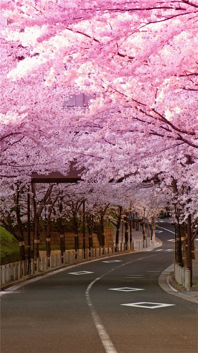 Bright Cherry Blossom Road Iphone 8 Wallpapers In 2020 Cherry Blossom Wallpaper Iphone Cherry Blossom Wallpaper Japanese Wallpaper Iphone