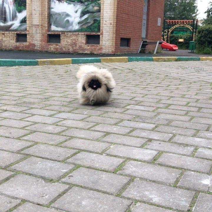 "Pekingese dogs and puppies  (@xenia__ivanova) on Instagram: ""My furry birdie  #pekingeseali #ali9months #birdie #furrybird #fluffy #runbabyrun #playtime…"""