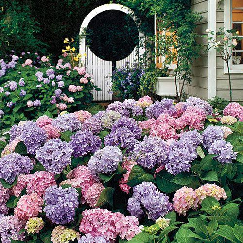 Hydrangeas.Gardens Ideas, Beautiful Hydrangeas, Southern Gardens, Hydrangeas Gardens, Outdoor, Front Yards, Dreams Gardens, Flower, Complete Guide