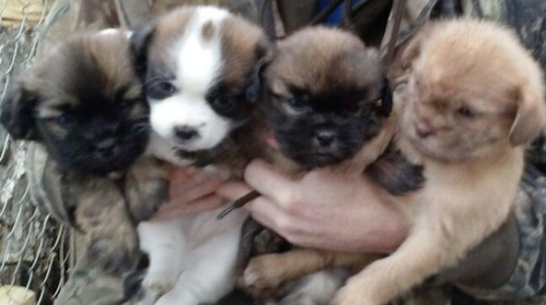 Shih Tzu Mix Puppies This Is Heaven Omg Pure Heaven Elsey Get Over Here Grabs My Peke Tzu And Huggles It Qwq Shih Tzu Puppies