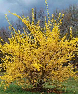 How to Prune Cane-Growing Shrubs: Keep new plants looking young and make old plants look like new
