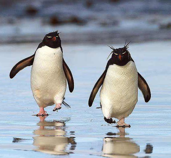 Google Image Result for http://www.penguin-pictures.net/rockhopper-penguins.jpg