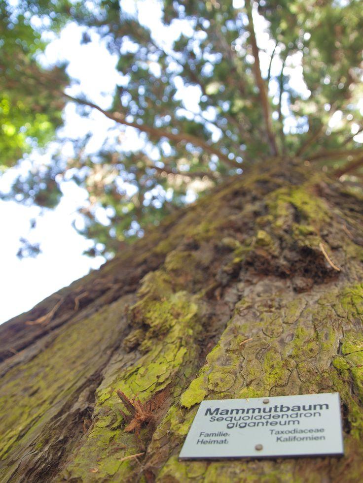 Mammutbaum auf der Insel Mainau am Bodensee
