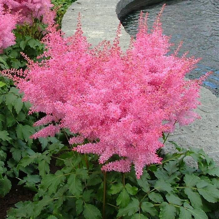 BulbsDirect - Your Online Garden Center for Flower Bulbs and Perennial Plants Direct from Holland - Astilbe arendsii Pink