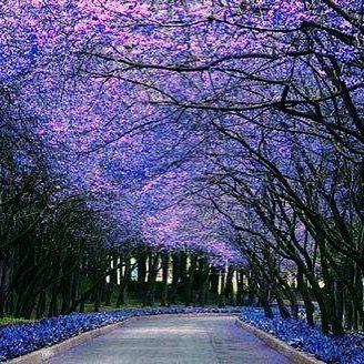 מי יודע איפה יש יער של סיגלונים באזור תל אביב? אפשר גם יער קטן מאחורי בית של מישהו
