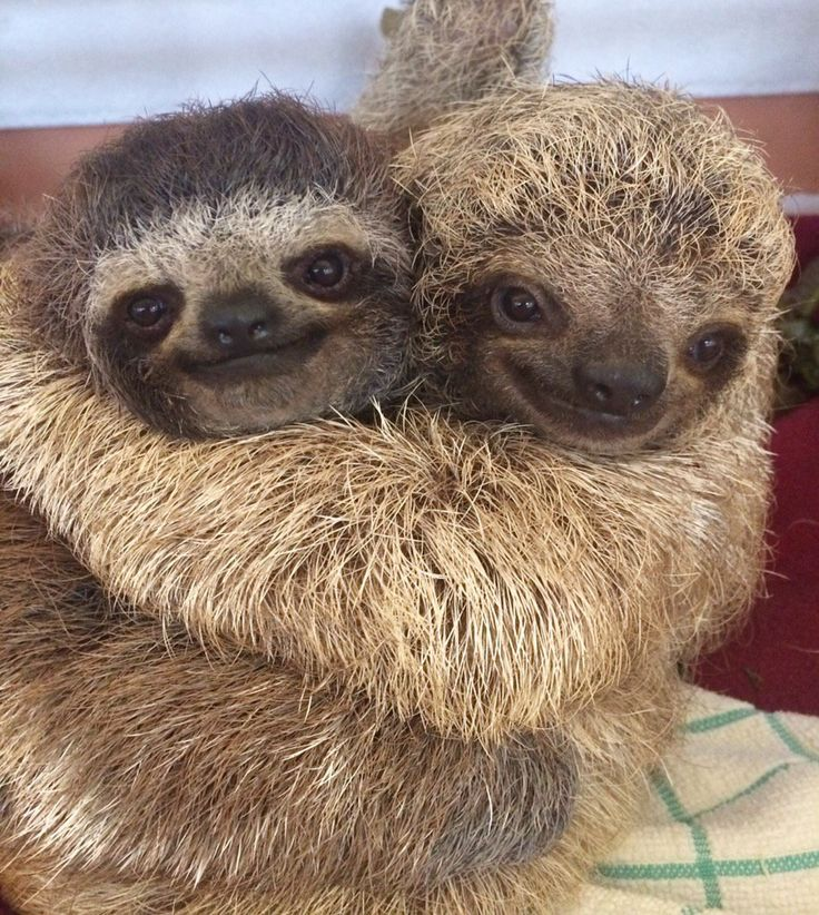 Sometimes you've just got to hug it out #sloths