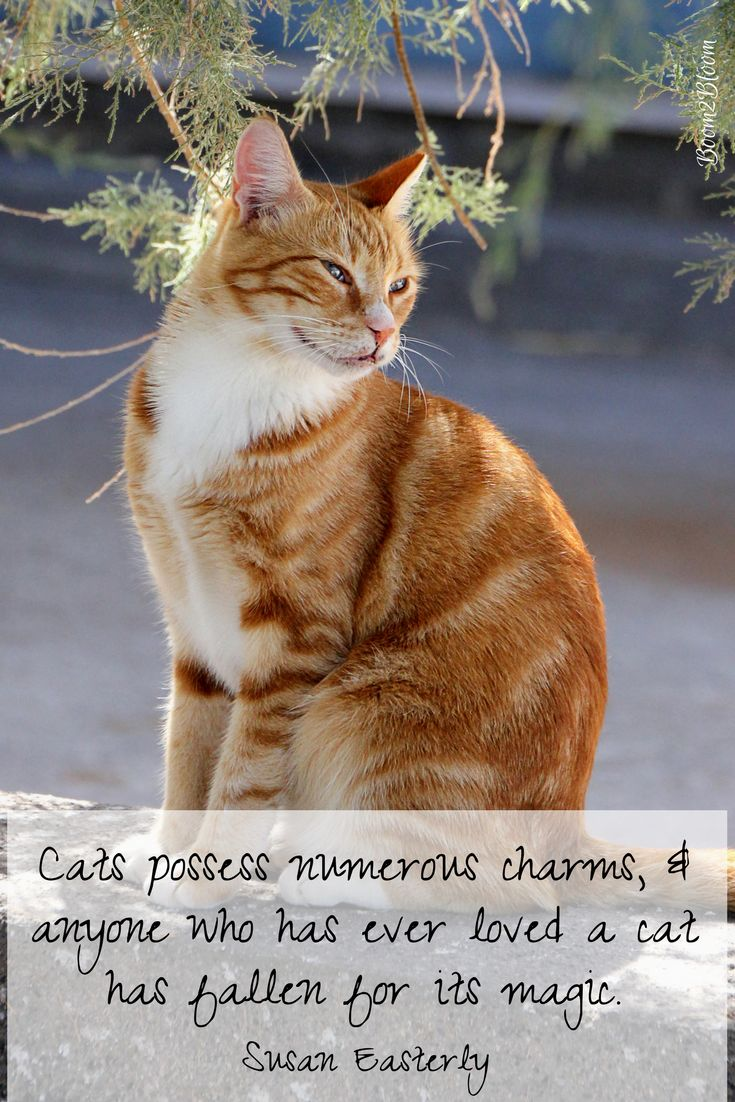 Cats possess numerous charms, & anyone who has ever loved a cat has fallen for its magic. Quote by Susan Easterly. Purrfectly Pawsitive: 44 Quotes About Cats eBook by Sandra Watson. Quotes and images that capture the personality, companionship 7 unconditional love of cats! #Cats #CatQuotes #QuotesAboutCats #eBook #Kittens #Pets #CatEBook