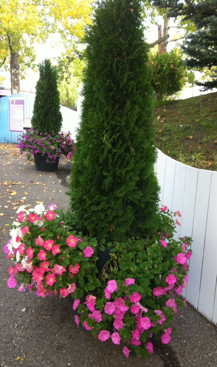 Fall container with shrub evergreen and petunias outdoor for Pretty low maintenance shrubs