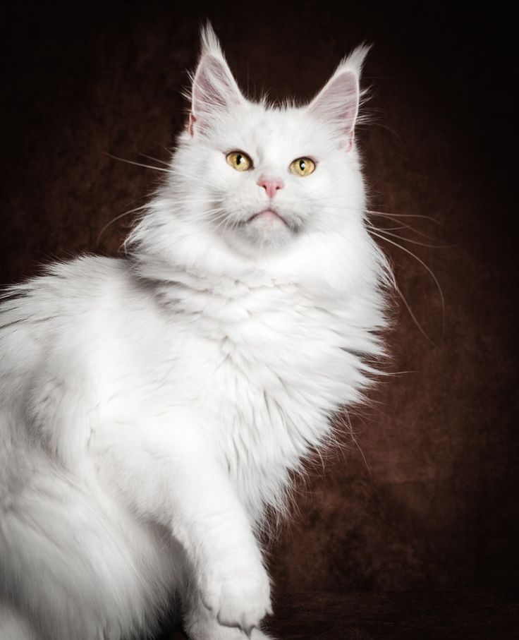 GR* METATRONEYES MORGAN LE FAY, white Maine Coon (gold eyed)