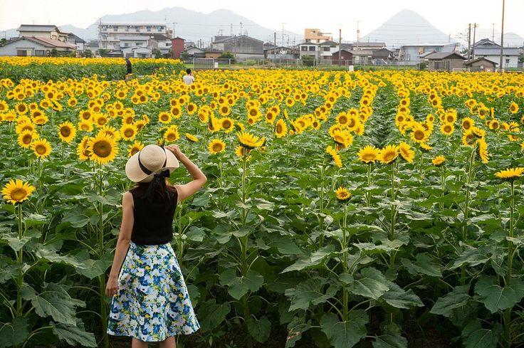 仏生山ファーム ひまわり畑/香川県