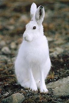Best 25 Arctic Hare Ideas On Pinterest Bunnies Cute