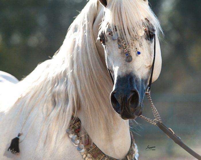 Ramses Mishaal Nadir (Mishaal HP x Ramses Minx), a 2006 gorgeous grey stallion. Arabians Ltd, Waco, Texas.