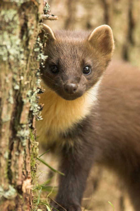 Pine marten (boommarter) another member of the Mustelidea Family (such as the ferret)