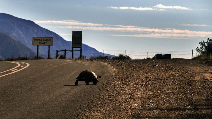 Turtle crossing in Prince Albert Valley