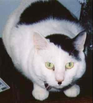 Image detail for -Kitlers - Cats That Look Like Hitler.