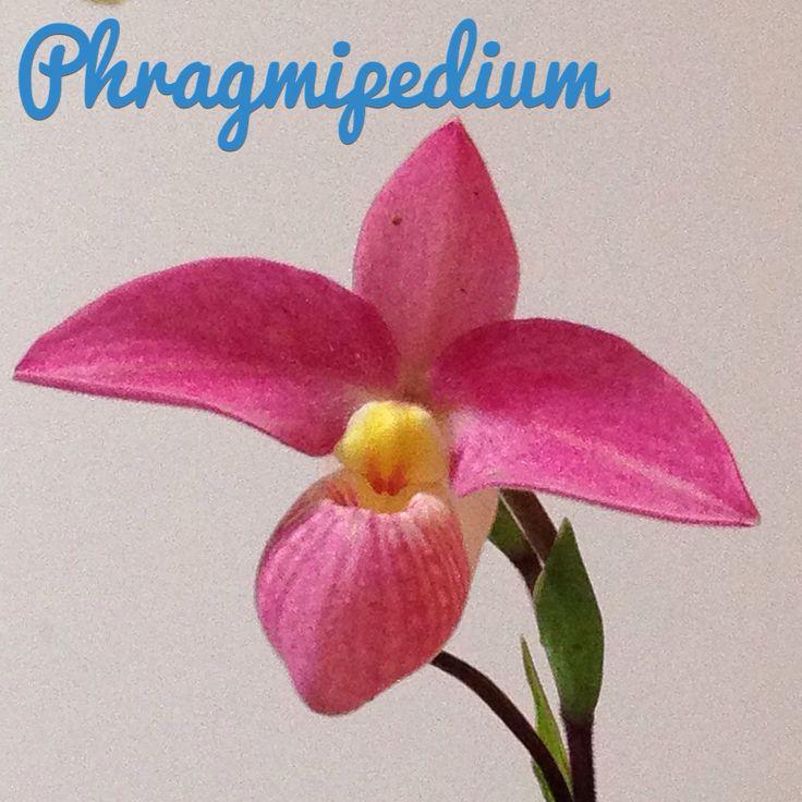 Orquídea Phragmipedium Phragmipedium Orchid