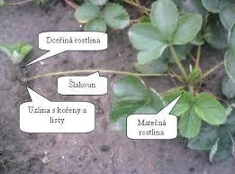 Výsledek obrázku pro rozmnožování rostlin