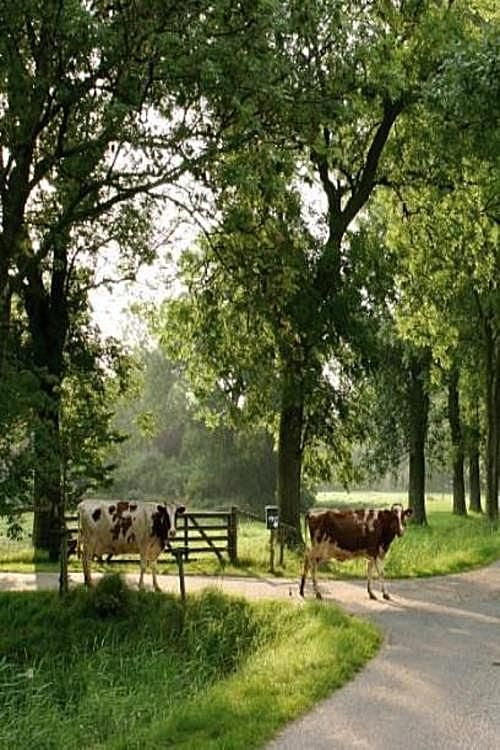 ** Cows walking home